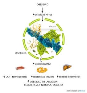 La obesidad activa la vía de señalización NF-kB dando como resultado la expresión de ciertos genes. Uno de ellos es IKKe en distintos tejidos, adipocitos, hepatocitos, macrófagos.