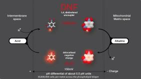 El 1, 4, dinitrofenol (DNF) es un ácido débil liposoluble que actúa como desancoplante de la fosforilación oxidativa en la mitocondria. Cuando pierde el protón es capaz de deslocalizar la carga negativa resultante entre el anillo aromático y los grupos nitro, lo que permite a la forma aniónica seguir siendo liposoluble. Así es capaz de deshacer el gradiente de protones existente entre ambos la membrana interna de la mitocondria.