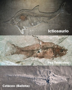 Evolución convergente. De tres arquetipos diferente han surgido tres animales parecidos en cuanto a su forma anatómica externa, pero no interna. Todos tiene aletas cudales, dorsales y paletas para la natación, sustentadas por estructuras internas diferentes. Analogía. Estructuras distintas que evolutivamente desembocan en una función parecida. Itiosaurios, Cetáceos y peces.